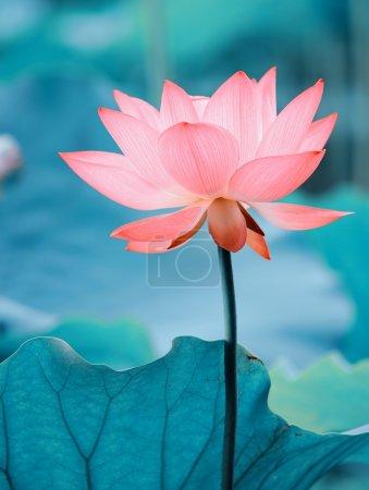 Photo pour Lotus fleur - image libre de droit