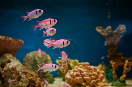 Pink fishes in aquarium