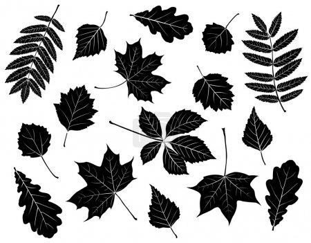 Illustration for Set of silhouettes of leaves. Maple, oak, mountain ash, birch, aspen, wild grapes, poplar and hawthorn. Isolated on white. - Royalty Free Image