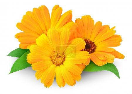 Photo pour Fleurs de calendula isolées sur blanc - image libre de droit