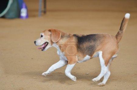Beagle at a Dog Agility Trial