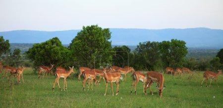 Photo pour Groupe de Gazelles africaines au Kenya - image libre de droit