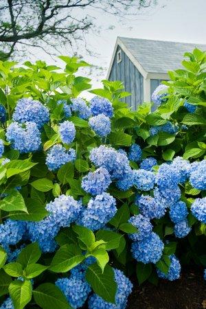 Foto de Flores de Hortensia con una pequeña casita azul en el fondo. - Imagen libre de derechos