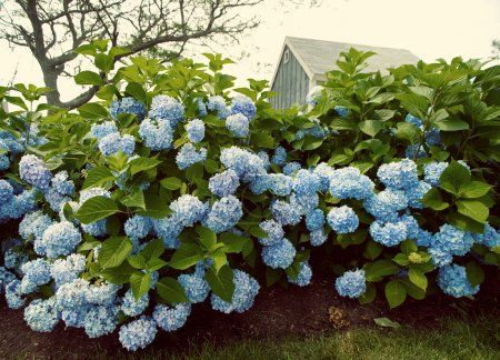 Foto de Look vintage con flores de Hortensia con una pequeña casita azul en el fondo. - Imagen libre de derechos