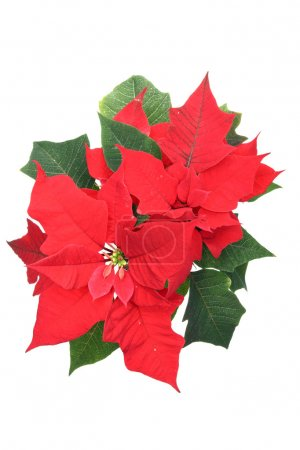 Poinsettia (Bethlehem Star) flower