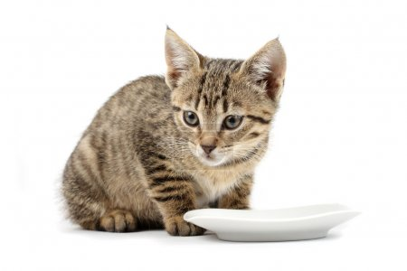 Young cat eating