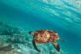 Green turtle swiming in Caribbean sea