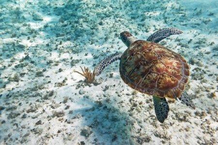 Green turtle swiming in Caribbean sea