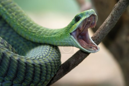 Venomous green boomslang snake with mouth open and...