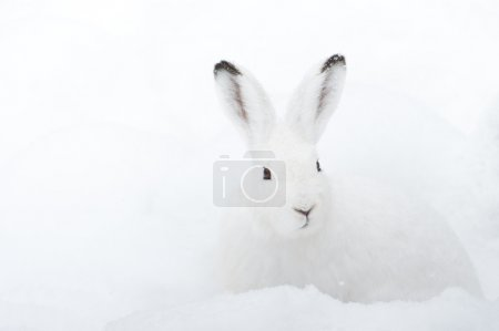 Photo for Mountain Hare (lat. Lepus timidus) with white fur sitting in snow in winter - Royalty Free Image
