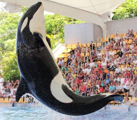 Photo pour Bondissant de l'orque (Orcinus Orca) - image libre de droit