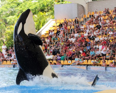 Photo for PUERTO DE LA CRUZ, TENERIFE - SEPTEMBER 8: New Orca Ocean exhibit has helped the Loro Parque become Tenerife's second most popular attraction - Royalty Free Image
