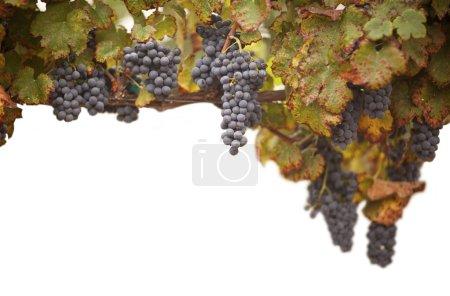 Beautiful Lush Grape Vineyard on White