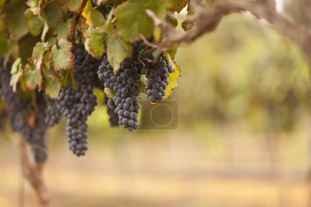 Photo for Beautiful Lush Grape Vineyard In The Morning Mist and Sun. - Royalty Free Image