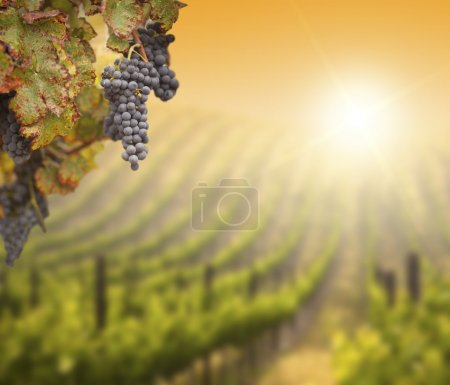 Beautiful Lush Grape Vine In The Morning Mist and ...