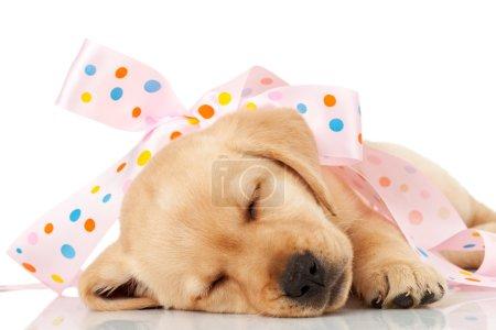 Photo pour Mignon petit chiot labrador enveloppé comme un cadeau dans un ruban rose, dormir sur fond blanc - image libre de droit