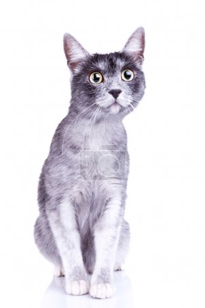 Adorable gray cat with great eyes