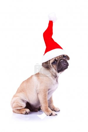 Side view of a little pug puppy wearing a santa ha...