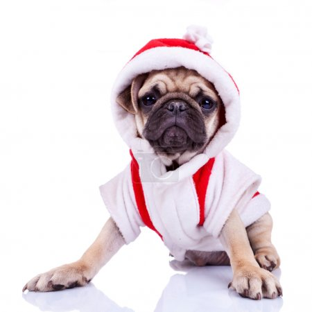 Photo for Front view of a cute pug puppy dressed as santa, on white background - Royalty Free Image