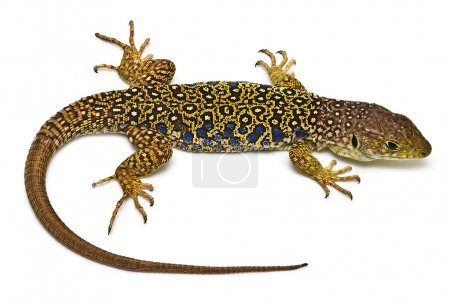 Colorful lizard isolated over a white background....