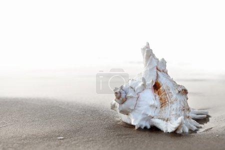 Photo pour Coquillage exotique sur la plage de sable au lever du soleil - image libre de droit