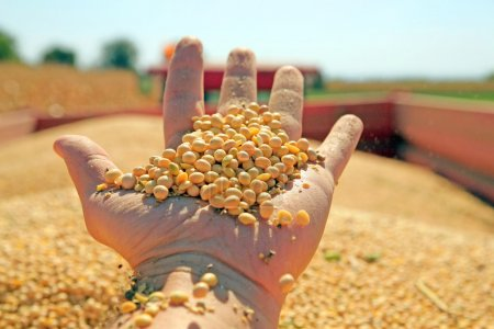 Harvesting and transportation of soybean...