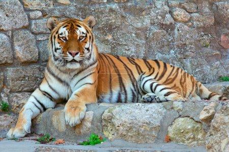 Colocación de tigre