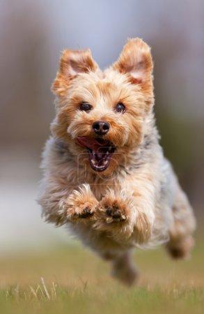 Photo pour Un yorkshire terrier heureux, fonctionnant à la caméra, la faible profondeur de champ en mettant l'accent sur le visage - image libre de droit