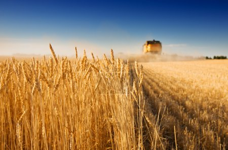 Foto de A combine harvester working in a wheat field,(focus on front row of wheat) - Imagen libre de derechos