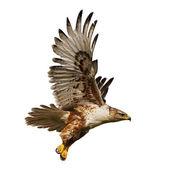Isolierte Falken im Flug