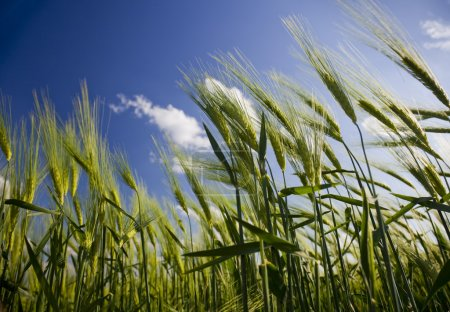 Photo for Green wheat field and cloudy sky - Royalty Free Image