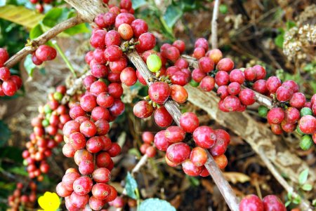 Fresh coffee grains on plant