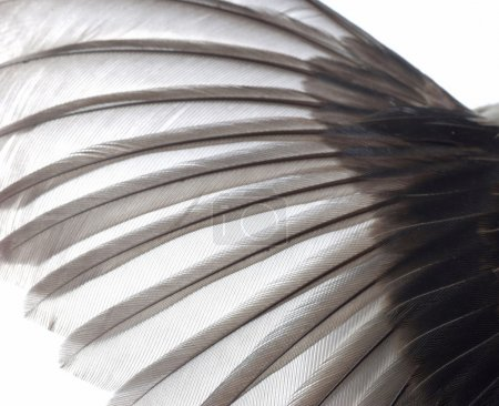 Photo for Bird wing feather texture background - Royalty Free Image