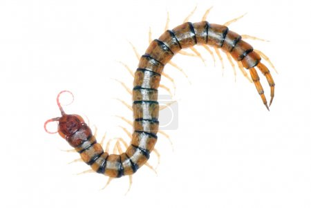 Poison animal centipede detail isolated...
