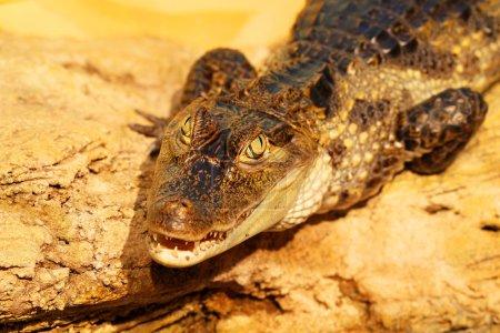 Photo pour Le crocodile est sur les rochers, les pièges attrapent. Sharpness dans ses yeux, brouillant le reste de - image libre de droit