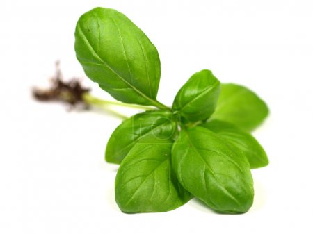 Photo for Green basil leaves on white background - Royalty Free Image