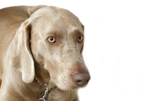 Puppy Weimaraner head portrait