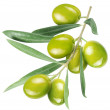 Olives on branch with leaves isolated on white. Fi...