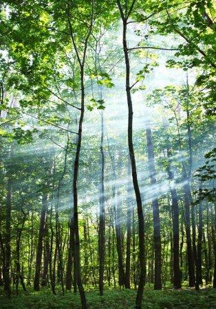 Photo pour Les rayons du soleil brillent à travers les arbres de la forêt . - image libre de droit