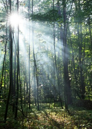 Photo for Sun's rays shining through the trees in the forest. - Royalty Free Image