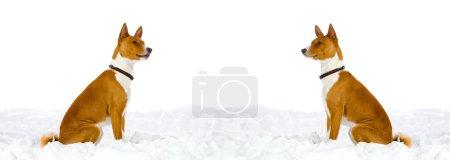 Photo pour Deux chiens rouges sont assis dans la neige, isolés sur un fond blanc. Espace pour le texte ou autre objet entre eux . - image libre de droit