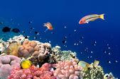 Coral fish Thalassoma Klunzingeri (Klunzinger's Wrasse) nearby a