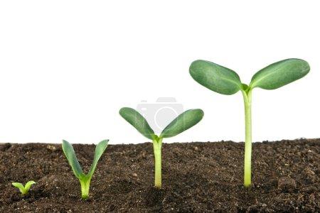Photo pour Trois petites plantes isolées sur blanc - image libre de droit