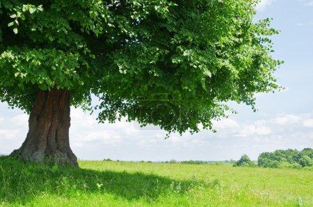 Photo pour Grand arbre vert gros plan - image libre de droit