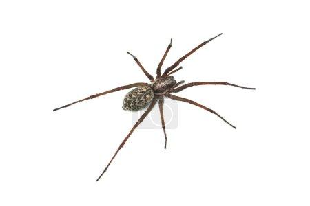 Photo pour Araignée isolée sur fond blanc - image libre de droit