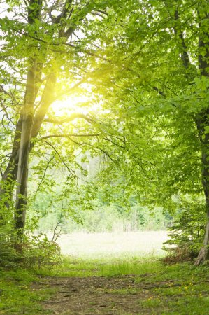 Photo for Green summer forest and sunlight - Royalty Free Image
