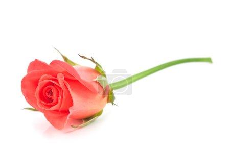 Photo pour Rose rouge isolée sur blanc - image libre de droit