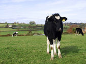 A Young Black and White Cow
