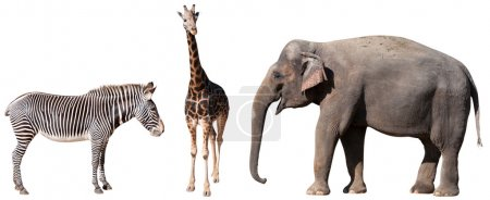 Zebra, Giraffe and Elephant Isolated on White...