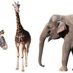 Zebra, Giraffe and Elephant Isolated on White...